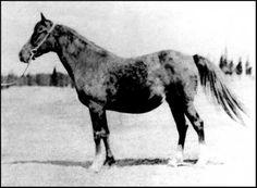 Uriah 1898 m. Desert Bred x A Saqlawiyah Al-Abd