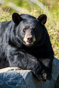 El oso negro (Ursus americanus), también llamado oso negro americano, es una especie de mamífero carnívoro de la familia de los úrsidos. Es el oso más común en Norteamérica. Se encuentra en una superficie geográfica que se extiende desde el norte de Canadá y Alaska hasta la Sierra Gorda de México, y de las costas atlánticas, a las costas pacíficas de Norteamérica. Está presente en un gran número de Estados estadounidenses y en todas las provincias canadienses.