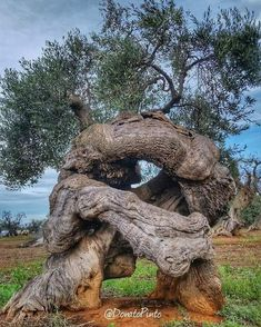Weird Trees, Twisted Tree, Old Trees, Unique Trees, Tree Trunks, Tree Photography, Big Tree, Tree Forest, Olive Tree
