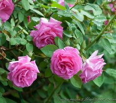 ~Zéphirine Drouhin  Bourbon   France 1868. Pink rose with strong damask fragrance.