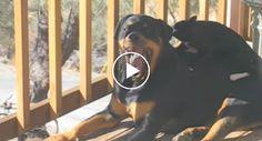 Veja o Que Faz o Gato Quando Se Aproxima Deste Assustador Rottweiler