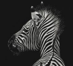 Zebra Scratchboard Artwork by Wildlife Artist Karen Neal