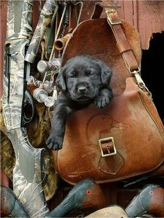 Black Lab Puppy Ready For the Hunt
