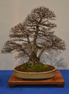 Bonsai Noelanders Trophy