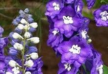 Purple Passion #Delphinium. For perennial gardening tips, click on the photo or visit us at: http://www.sheridannurseries.com/garden_tips/general_gardening/gardening_with_perennial_flowers