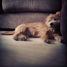 Our norfolk terrier Manu ♥