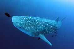 Whale shark, Roca Partida by cathm2