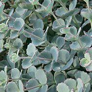 Genus Sedum (Stonecrop) - List of Species, Varieties and Cultivars