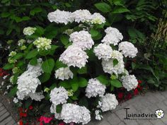 Hydrangea Macrophylla 'Endless Summer The Bride' ('Blushing Bride)  - Hortensia, Bolhortensia in de Digituin.