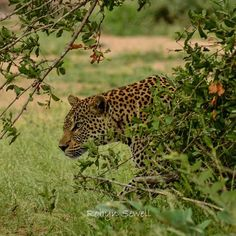 Leopards are very solitary and spend most of their time alone. During the day they love resting in trees and quietly stalking their prey when hunger strikes. During The Day, African Safari, Leopards, Big Cats, Lodges, Wilderness, Ranger, Camouflage, Wildlife
