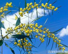 Κυανόφυλλη Ακακία, Acacia cyanophylla, άνθη | Μουσείο Φυσικής Ιστορίας Κρήτης Photo Archive, Museum, Plants, Image, Plant, Museums, Planets