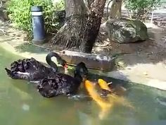 Des cygnes noirs nourrissant des poissons (3)