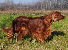 Ирландский красный сеттер - особенности породы, характер собаки, охотничьи породы собак, подружейные породы собак, охотничьи собаки на птиц.