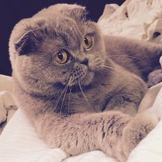 So cute she doesn't look real!  #meecheebomb #scottishfold #catsofinstagram #cuteoverload #cutekitty