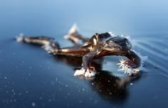 <b>Frozen Frog</b>: After a some days with temperature below freezing point, I was out skating at some lakes at the outskirts of Oslo in Norway. After a while I noticed something on the ice. To my astonishment it was a dead frozen frog.