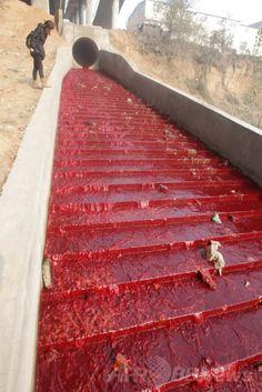 中国河南(Henan)省洛陽(Luoyang)で、違法操業の染物工場が雨水排水溝に垂れ流した赤い染料によって染まった澗河(Jian River)を眺める女性(2011年12月13日撮影)。(c)AFP ▼30Mar2014AFP|【特集】世界各地の水質汚染 http://www.afpbb.com/articles/-/3011088 #Water_pollution #Luoyang #Jian_River