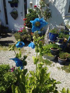 Idag var der flere blomster på den blå valmuesøsteren / Today my blue poppy Meconopsis betonicifolia gave me some more flowers <3<3 1.6.2014/IJ