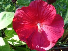 Non GMO PERENNIAL Giant Red Hibiscus 25 Flower by FeedMySheepInc, $2.77