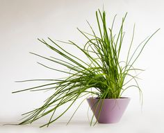 Ruohosipulin kasvatus Vegetable Garden, Vegetables, Flowers, Plants, Vegetables Garden, Vegetable Recipes, Vegetable Gardening, Plant, Veggie Gardens