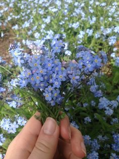 """poltergeists-for-sidekicks: """"my favourite part of spring is all the forget-me-nots in bloom🌿🌸 """" Spring Aesthetic, Nature Aesthetic, Flower Aesthetic, Blue Aesthetic, Aesthetic Photo, Aesthetic Pictures, No Rain, Mother Nature, Planting Flowers"""