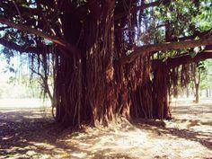 Árvore-mãe
