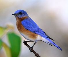 Eastern Bluebird Adult male Pale unmarked blue upperparts and head White underparts Reddish brown chest Fairly short tail No crest