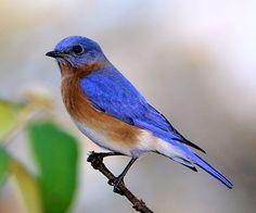Indigo Bunting, Identification, All About Birds - Cornell Lab of ...