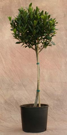 live bay laurel topiary