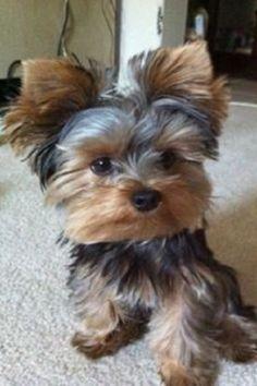 Yorkies, Yorkie Puppy, Baby Yorkie, Pomeranian Dogs, Pomeranians, Chihuahua Dogs, Teacup Yorkie, Teacup Puppies, Yorkshire Terriers