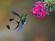 Booted-Racket-tail-Sam-Woods Muchas plantas dependen de los colibríes para la polinización. Sus flores se proyectan hacia afuera, para que estas pequeñas aves no queden atrapadas en el follaje. Además, suelen tener formas largas y tubulares para evitar que se acerquen otros insectos, como abejas y mariposas. Como los colibríes no tienen olfato, estas flores no necesitan ser perfumadas.