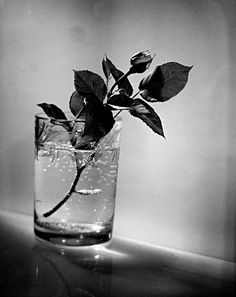 Josef Sudek: Bud of a white rose, 1954