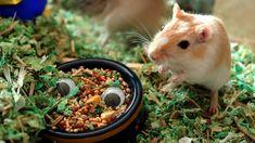 Come curare l'alimentazione del gerbillo