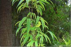 Família botânica: Bignoniaceae. Nomes populares: carajurú, capiranga, cipó cruz, grajirú, crajurú, guarajurupiranga, pariri, piranga, calajouru, karajura, krawiru. Descrição da planta: planta arbus...