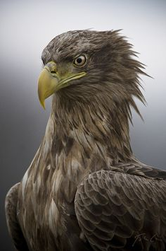 fairy-wren:  white-tailed eagle (photo by halex)