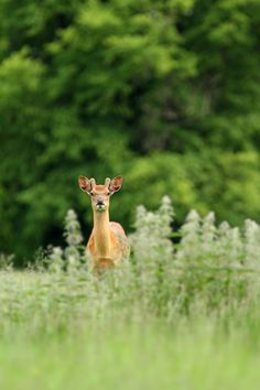 Young Sika by Simon Roy