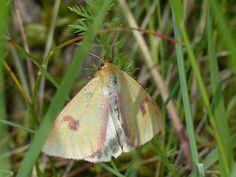 Clouded buff moth (male), Kõrvemaa Heath.