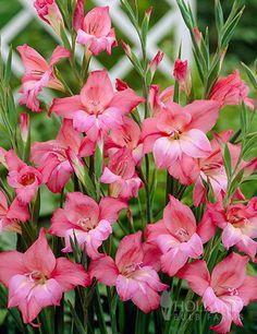 Gladiolus Sale: Mini Pink Gladiolus's Charming Beauty