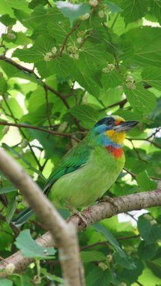 五色鳥  Megalaima Nuchalis 鬚鴷科擬啄木鳥屬 暱稱:花和尚   台灣特有種 攝影地點:台北市 大安森林公園