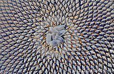 Sunflower seeds closeup