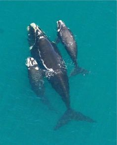 Southern Right Whale with calf & an orphaned calf