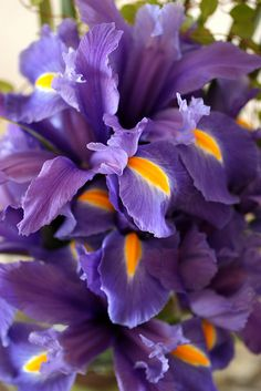 Iris sanguinea by mellow_stuff, via Flickr