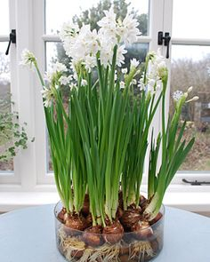 "How To Make Flower Bulb Arrangements :: reminds me of Grandma <3.  ""forcing"" paper whites.  with DIYs for other types of bulbs.  signs of spring, and the coming of chinese new year.  if you use this method, the bulbs are a one time use only."