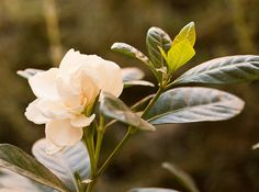 I would absolutely LOVE to have Gardenias, but, they don't grow well for me :(