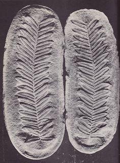 Carboniferous, Pennsylvanian fern fossil concretion.