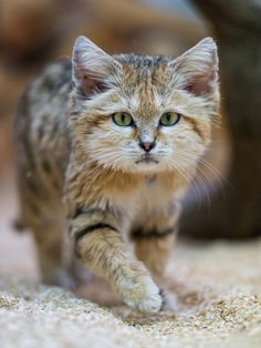 This adorable little cat is practically a cartoon character — small, cute, and yet with superpowers for living in the desert. Found in northern Africa and central and southwest Asia, this is the only felid that lives in sandy desert habitat. Its ears are large and set low, which helps protect it from wind-blown sand as well as improves its ability to locate prey hiding underground. Its thickly furred paws help it cope with the extremes of hot and cold sand.