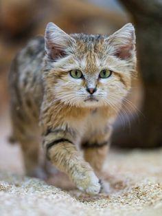 Geoffroy S Cat Predators