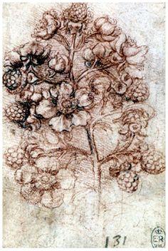 Leonardo | Spray of Blackberry | Red chalk | 180 x 160 mm. | Windsor Castle