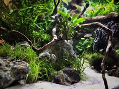 My project: details of my new tankI am enjoying this new tank like a baby with a new ball. Find the borara brigittae (this one is easy) and the corydora pigmea