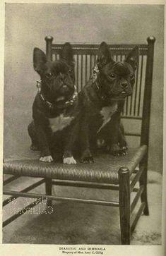 Vintage French Bulldog portrait