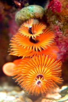 **Christmas Tree Worm by Jörg E. Lingnau ¦ kinda looks like the plant in the movie Avatar